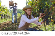 Купить «Young attractive woman farmer harvesting ripe blue grapes in sunny vineyard», видеоролик № 29474264, снято 15 октября 2018 г. (c) Яков Филимонов / Фотобанк Лори