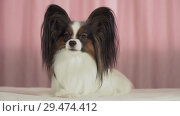 Купить «Beautiful dog Papillon lies on bed and barks stock footage video», видеоролик № 29474412, снято 8 ноября 2018 г. (c) Юлия Машкова / Фотобанк Лори