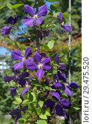 Купить «Цветущий фиолетовый  клематис (лат. Clemаtis)», фото № 29475520, снято 14 августа 2018 г. (c) Елена Коромыслова / Фотобанк Лори
