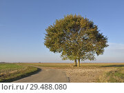 Купить «Deux chenes isoles sur le bord d'une route de campagne, departement d'Eure-et-Loir, region Centre-Val de Loire, France, Europe/two oak trees on the edge...», фото № 29488080, снято 20 октября 2018 г. (c) age Fotostock / Фотобанк Лори