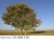 Купить «Deux chenes isoles sur le bord d'une route de campagne, departement d'Eure-et-Loir, region Centre-Val de Loire, France, Europe/two oak trees on the edge...», фото № 29488120, снято 20 октября 2018 г. (c) age Fotostock / Фотобанк Лори