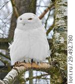 Snowy owl (Bubo scandiacus), large, white owl of typical owl family. Male. Стоковое фото, фотограф Валерия Попова / Фотобанк Лори