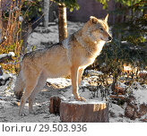 Купить «Grey Wolf (Canis lupus) (female) on sunny winter day», фото № 29503936, снято 30 ноября 2018 г. (c) Валерия Попова / Фотобанк Лори