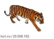 Купить «Siberian tiger (P. t. altaica), also known as Amur tiger in winter», фото № 29508192, снято 30 ноября 2018 г. (c) Валерия Попова / Фотобанк Лори