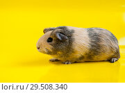 Smooth-haired guinea pig beige-black colors on a yellow background. Стоковое фото, фотограф Катерина Белякина / Фотобанк Лори