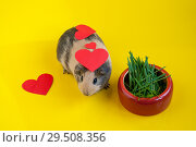 Red hearts on a smooth-haired guinea pig of beige and black colors next to a bowl of green grass on a yellow background. Стоковое фото, фотограф Катерина Белякина / Фотобанк Лори