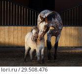 Купить «Миниатюрная лошадь и Аппалуза гуляют на закатном солнце», фото № 29508476, снято 21 ноября 2018 г. (c) Абрамова Ксения / Фотобанк Лори