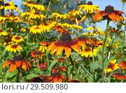 Купить «Яркие цветы рудбекии (лат. Rudbeckiа) цветут саду», фото № 29509980, снято 23 августа 2018 г. (c) Елена Коромыслова / Фотобанк Лори