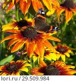 Купить «Бабочка Адмирал (лат. Vanessa atalanta) на цветке рудбекии», фото № 29509984, снято 23 августа 2018 г. (c) Елена Коромыслова / Фотобанк Лори