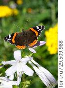 Купить «Бабочка Адмирал (лат. Vanessa atalanta) на цветке хосты», фото № 29509988, снято 23 августа 2018 г. (c) Елена Коромыслова / Фотобанк Лори