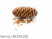 Купить «Еловая шишка с семенами на белом фоне», фото № 29510232, снято 2 декабря 2018 г. (c) Наталья Осипова / Фотобанк Лори