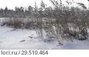 Купить «The coast of the forest lake with canes in the foreground in winter sunny day,It is snowing», видеоролик № 29510464, снято 1 декабря 2008 г. (c) Куликов Константин / Фотобанк Лори