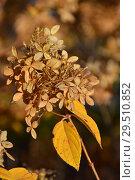 Купить «Пожелтевшие соцветия Гортензии осенью», эксклюзивное фото № 29510852, снято 6 ноября 2018 г. (c) lana1501 / Фотобанк Лори