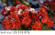 Купить «Chrysanthemum under snow», фото № 29510876, снято 29 октября 2018 г. (c) Stockphoto / Фотобанк Лори