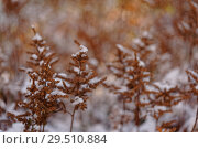 Купить «Dry plants under snow», фото № 29510884, снято 29 октября 2018 г. (c) Stockphoto / Фотобанк Лори
