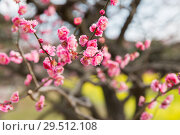 Купить «close up of beautiful sakura tree blossoms at park», фото № 29512108, снято 11 февраля 2018 г. (c) Syda Productions / Фотобанк Лори