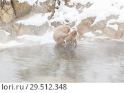 Купить «japanese macaques or snow monkeys in hot spring», фото № 29512348, снято 7 февраля 2018 г. (c) Syda Productions / Фотобанк Лори