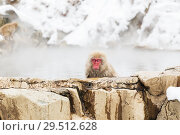 Купить «japanese macaque or snow monkey in hot spring», фото № 29512628, снято 7 февраля 2018 г. (c) Syda Productions / Фотобанк Лори