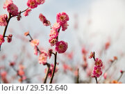 Купить «close up of beautiful sakura tree blossoms», фото № 29512640, снято 11 февраля 2018 г. (c) Syda Productions / Фотобанк Лори