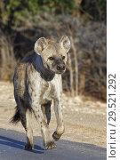 Купить «Spotted hyena or Laughing hyena (Crocuta crocuta), adult female running along a tarred road, in the morning light, Kruger National Park, South Africa, Africa.», фото № 29521292, снято 22 октября 2018 г. (c) age Fotostock / Фотобанк Лори