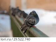 Купить «Flock of pigeons», фото № 29522740, снято 25 февраля 2009 г. (c) Argument / Фотобанк Лори