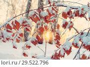 Купить «Branch of birch with yellow leaves covered with snow», фото № 29522796, снято 4 декабря 2018 г. (c) Икан Леонид / Фотобанк Лори