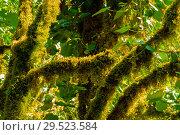 Купить «Background - subtropical forest, yew-boxwood grove with mossy tree trunks», фото № 29523584, снято 25 сентября 2017 г. (c) Евгений Харитонов / Фотобанк Лори