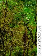 Купить «Background - subtropical forest, yew-boxwood grove with mossy tree trunks», фото № 29523588, снято 25 сентября 2017 г. (c) Евгений Харитонов / Фотобанк Лори