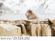 Купить «japanese macaque or snow monkey in hot spring», фото № 29524292, снято 7 февраля 2018 г. (c) Syda Productions / Фотобанк Лори