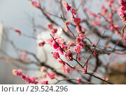 Купить «close up of beautiful sakura tree blossoms», фото № 29524296, снято 11 февраля 2018 г. (c) Syda Productions / Фотобанк Лори