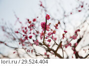 Купить «close up of beautiful sakura tree blossoms», фото № 29524404, снято 11 февраля 2018 г. (c) Syda Productions / Фотобанк Лори