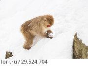 Купить «japanese macaque or monkey searching food in snow», фото № 29524704, снято 7 февраля 2018 г. (c) Syda Productions / Фотобанк Лори