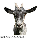 Купить «Серая козочка, изолировано на белом фоне», фото № 29525028, снято 25 мая 2019 г. (c) Екатерина Овсянникова / Фотобанк Лори