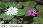 Купить «Flowers of pink and white Lotus have revealed in a reservoir», видеоролик № 29525032, снято 3 декабря 2008 г. (c) Куликов Константин / Фотобанк Лори