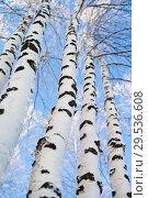 Купить «Trunks of beautiful birches trees against the blue sky», фото № 29536608, снято 4 декабря 2018 г. (c) Икан Леонид / Фотобанк Лори
