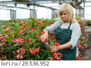 Купить «Female gardener with scissors working with red begonia plants in hothouse», фото № 29536952, снято 20 августа 2018 г. (c) Яков Филимонов / Фотобанк Лори