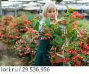 Купить «Female gardener working with red begonia plants in pots in greenhouse», фото № 29536956, снято 20 августа 2018 г. (c) Яков Филимонов / Фотобанк Лори