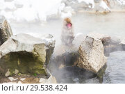 Купить «japanese macaque or snow monkey in hot spring», фото № 29538424, снято 7 февраля 2018 г. (c) Syda Productions / Фотобанк Лори