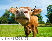 Купить «Смешная коричневая корова на поляне в солнечный летний день», фото № 29539172, снято 5 августа 2018 г. (c) Екатерина Овсянникова / Фотобанк Лори
