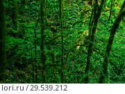 Купить «Background - subtropical forest, view down to the undergrowth through mossy vines», фото № 29539212, снято 26 сентября 2017 г. (c) Евгений Харитонов / Фотобанк Лори