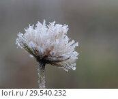 Купить «Plant in frost. Macro. The sudden cold change in the weather», фото № 29540232, снято 17 июля 2019 г. (c) Ирина Козорог / Фотобанк Лори