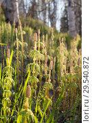 Хвощ лесной ( Equisetum sylvaticum ) Стоковое фото, фотограф Анатолий Гуреев / Фотобанк Лори