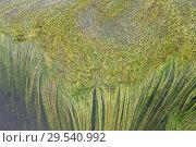 Купить «River water crow-foot (Ranunculus fluitans) is an aquatic herb native to western Europe. This photo was taken in Tietar river in Avila Toledo provinces border, Spain.», фото № 29540992, снято 19 апреля 2011 г. (c) age Fotostock / Фотобанк Лори
