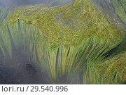 Купить «River water crow-foot (Ranunculus fluitans) is an aquatic herb native to western Europe. This photo was taken in Tietar river in Avila Toledo provinces border, Spain.», фото № 29540996, снято 19 апреля 2011 г. (c) age Fotostock / Фотобанк Лори
