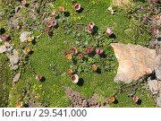 Купить «Glacier buttercup or glacier crow-foot (Ranunculus glacialis) is a perennial herb native to highs mountains of Europe. This photo was taken in Switzerland Alps near Matterhorn.», фото № 29541000, снято 16 июля 2009 г. (c) age Fotostock / Фотобанк Лори