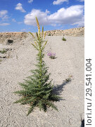 Купить «Enturio (Reseda suffruticosa) is an annual or perennial herb native to gypsum soils to Spain. This photo was taken in Valle del Tajuna, Madrid Comunity, Spain.», фото № 29541004, снято 16 апреля 2011 г. (c) age Fotostock / Фотобанк Лори