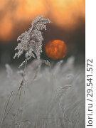Купить «Sunset above wetlands, Reed Grass / Seggenried (Phragmites australis), end of day, silence, meditation, warm light, in winter.», фото № 29541572, снято 24 января 2013 г. (c) age Fotostock / Фотобанк Лори