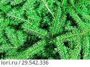Купить «Фон из еловых ветвей», фото № 29542336, снято 5 августа 2018 г. (c) Екатерина Овсянникова / Фотобанк Лори