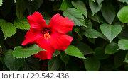 Купить «Big red hibiscus flower in nature», видеоролик № 29542436, снято 5 ноября 2018 г. (c) Володина Ольга / Фотобанк Лори