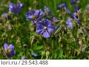 Купить «Травянистое растение Герань луговая, или Журавельник луговой (лат. Geranium pratense)», эксклюзивное фото № 29543488, снято 24 июня 2015 г. (c) lana1501 / Фотобанк Лори